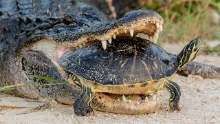 Download Alligator Attempting To Eat A Turtle Video