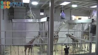 Download Hope Giraffe Cam #TopZooKTWU Video