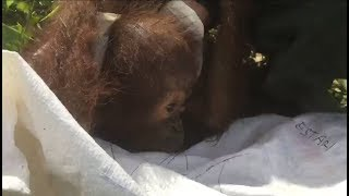 Download Another Baby Orangutan Found Without Mother Video