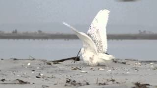 Download Snowy Owl vs. Peregrine Falcon Video