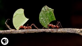 Download Where Are the Ants Carrying All Those Leaves? | Deep Look Video