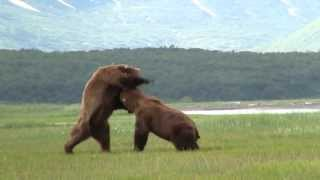 Download Battle Of The Giant Alaskan Grizzlies, grizzly vs grizzly, alaska Video