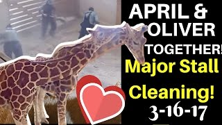 Download Now That's TEAMWORK! April & Oliver Share a Pen & Nuzzle as Staff Clean House! April the Giraffe Video