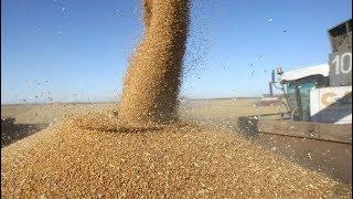 Download Уборка пшеницы 2018. Убираем не спешно пшеницу, делимся мыслями и планами Video