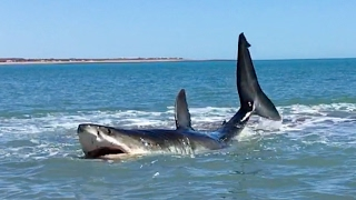 Download Pearson Brothers Winery films 15 ft white shark in 3 ft of water Video
