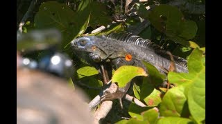 Download A Blow Gun Hunt for Florida's Giant Iguanas Video