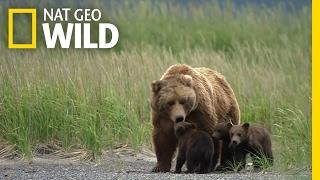 Download A Bear Cub Gets Lost   Destination WILD Video