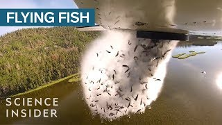 Download Why Utah Drops Fish Out Of Airplanes Into Their Mountain Lakes Video
