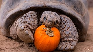 Download Halloween Party For Galápagos Tortoise Seniors Video
