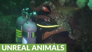 Download Giant Pacific Octopus totally engulfs scuba diver Video