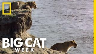 Download A Dangerous River Crossing   Big Cat Week Video