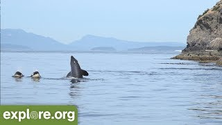 Download Five Fascinating Facts About Orca Families - Never Stop Learning Video