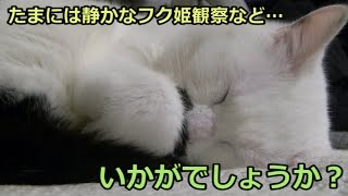 Download たまには静かに眠る猫フク姫等、いかがでしょうか?(面白い&可愛い猫) Video