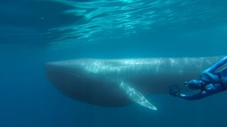 Download GoPro: The Search for the Blue Whale - A Prelude to 'Racing Extinction' Video