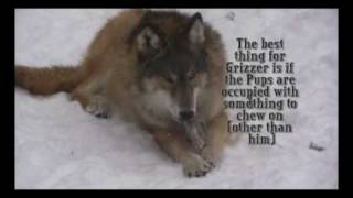 Download Dominance Interactions between the ambassador wolves at the International Wolf Center Video