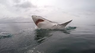 Download Great White shark diving - South Africa Video
