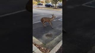 Download Rabid Deer going in circles Video