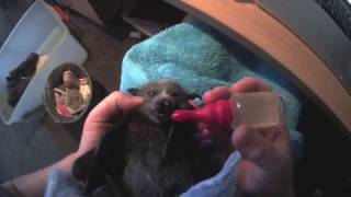 Download Worming a baby Flying-Fox: This is Megabytie Video