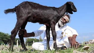 Download Full GOAT!!! Grilled Goat cook in different way / My daddy Arumugam / Village food factory Video