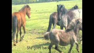 Download new forest ponies try and take new born shetland foal:( Video
