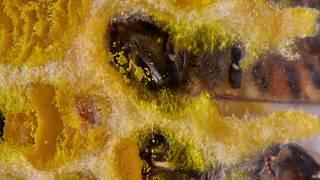 Download Honey Bee Behavior Observations Queen, Worker, Drone, Hygienic, Egg, larvae, Pollen Video