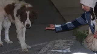 Download Rescue of a giant dog who didn't know how to ask for help Video