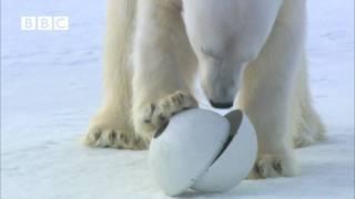 Download Very funny - Polar Bear wrecks Spy Cameras! - Polar Bear Spy on the Ice (David Tennant) Video