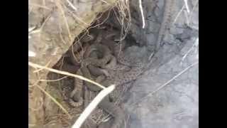 Download Rattlesnake Den Close-up Video