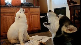 Download Mad Malamute Argues With Husky Puppy..........lol Video