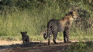 Download SafariLive April 07 - Leopard Kuchava and her first cub! Too cute! Video