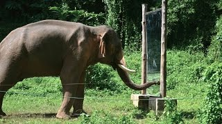 Download Mirror Self-Recognition in Asian Elephants! Video