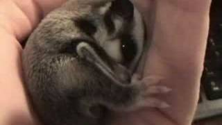 Download Tired Baby Sugar Glider - Two Weeks Old Video