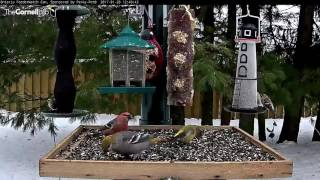 Download Female Red Crossbill Makes a Rare Stop in Manitouwadge, Ontario - Jan. 20, 2017 Video