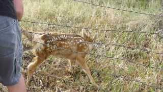Download Fawn Deer Caught in Fence. Colorado Video