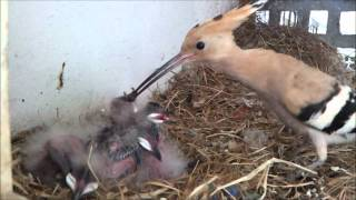 Download Hoopoe Nest (HD) V1 - Part 1 of 2 Video