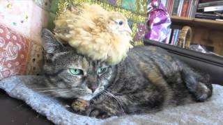 Download 【動物】猫とウズラ Video