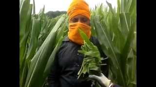 Download Punjabi working in Italy Video
