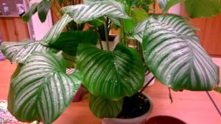 Download Калатея Уход за комнатным растением Video