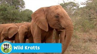 Download WILD KRATTS | Baby Elephant Power | PBS KIDS Video