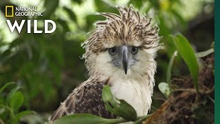 Download Watch an Endangered Philippine Eagle Chick Grow Up in Rare Video | Nat Geo Wild Video