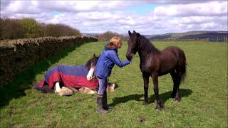 Download Friesian tells Clydesdale to get up Video