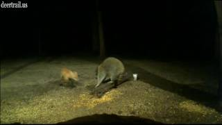 Download The Red Fox And Raccoon Video
