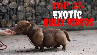 Download Top 25 Best of Exotic American Bully Videos Vol.3 Video