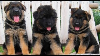 Download Funniest & Cutest German Shepherd Compilation 2017 - Funny Dogs Videos Video