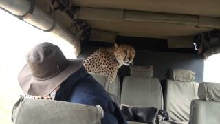 Download Cheetah in the Car: Face to Face with a Cheetah in the Masai Mara Video