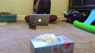 Download Truth About Rats: Rat Tricks Video