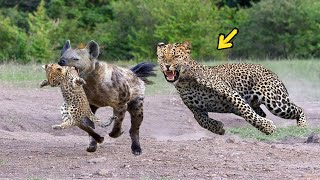 Download Epic Battle Of King Hyena Vs Leopard - The God can't help Mother Leopard save Cubs escape of Hyena Video