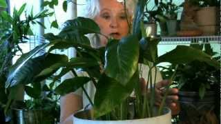 Download Houseplants #5: If your leaves turn yellow... Video