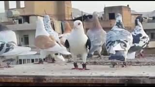 Download İsmail Karakeçili Filo Kuşları - Şanlıurfa 2 Temmuz 2016 Video
