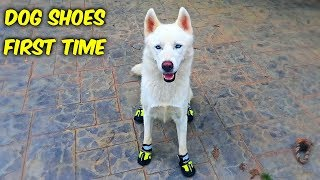 Download Huskies Trying Dog Shoes for the First Time! (Funny Dogs) Video
